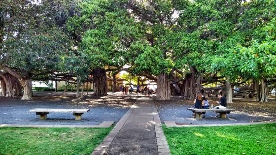 activities to do in maui hawaii, lahaina banyan tree
