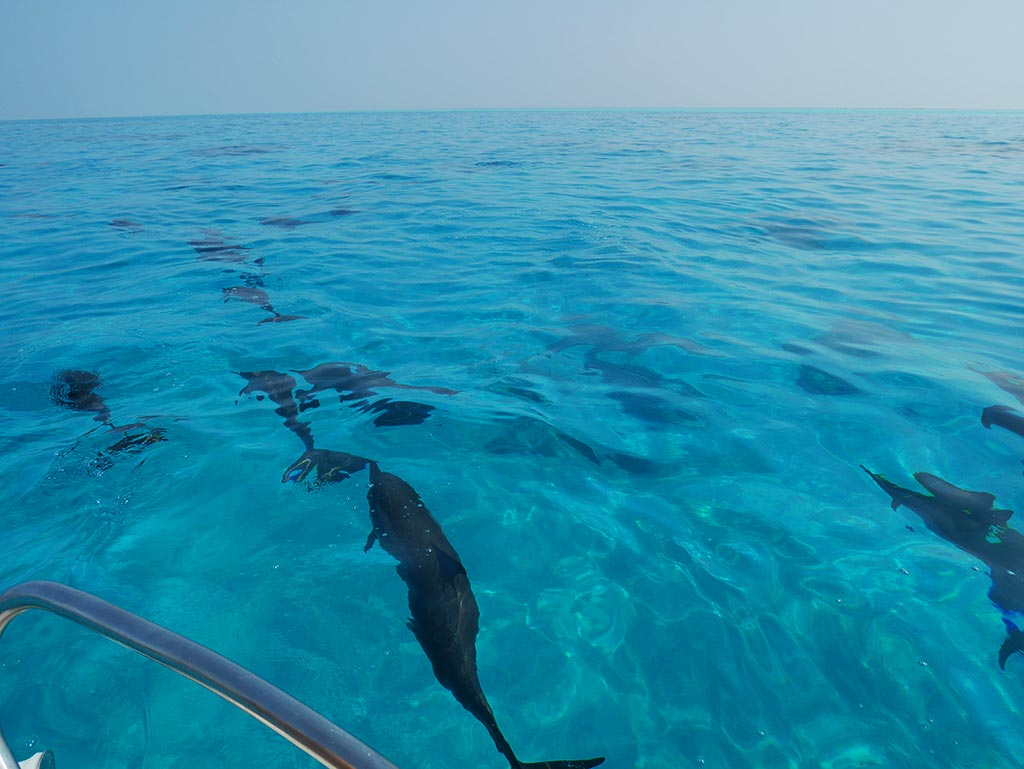 A pod of dolphins, Gaafaru, Maldives