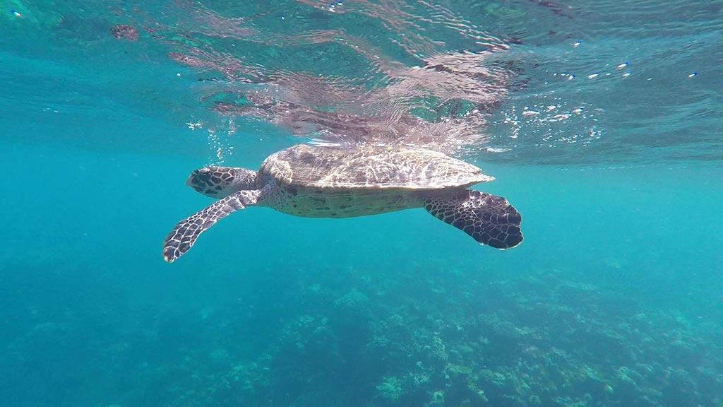 Turtle coming up for water near Gaafaru, Maldives