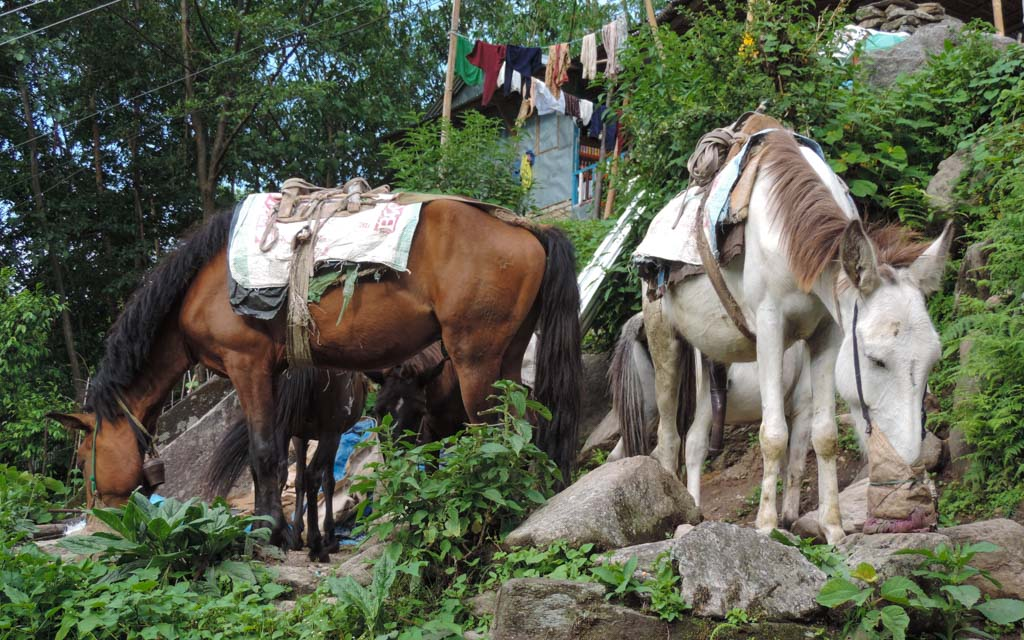 horses assisting porters whilst trekking in Nepal