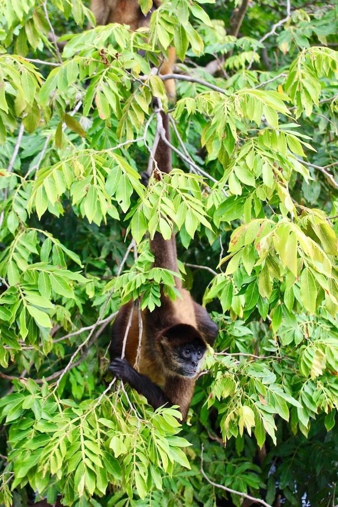 Costa Rica Monkey Nature Tour