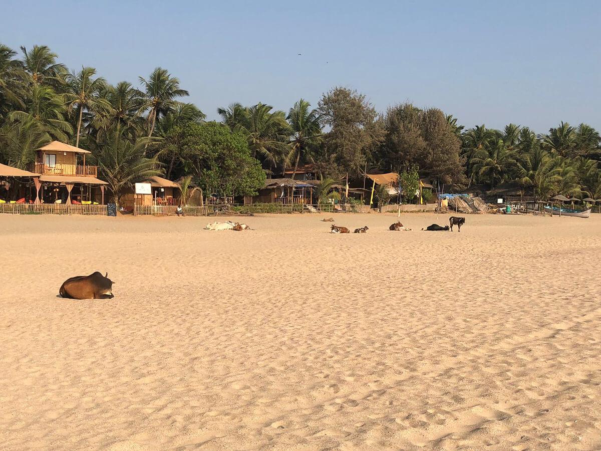Cows in Agonda Beach Goa