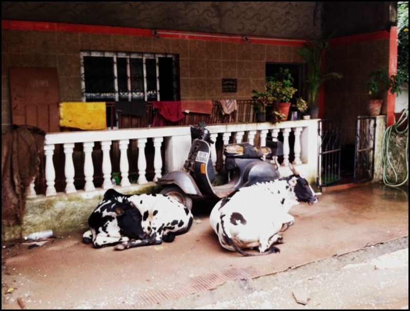 funny cows in india