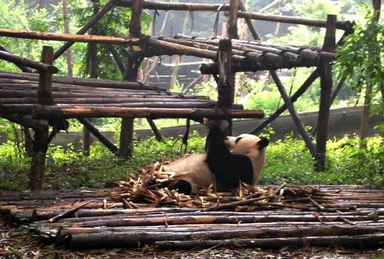 luxury guide to chengdu panda